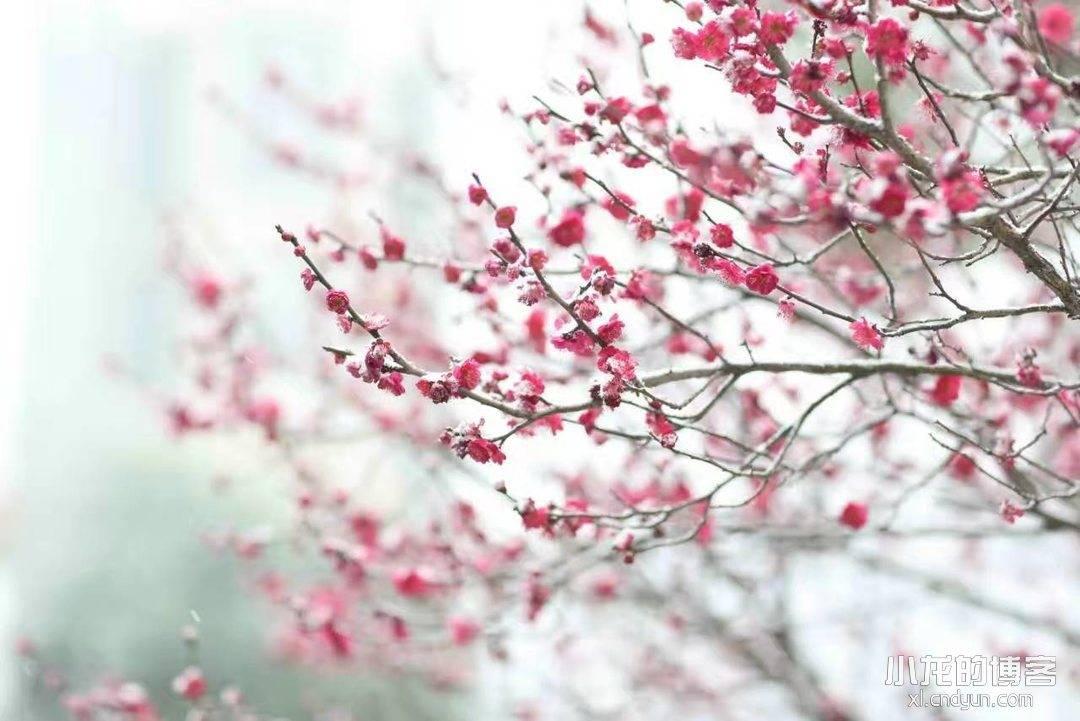 又是一年樱花含苞待放时